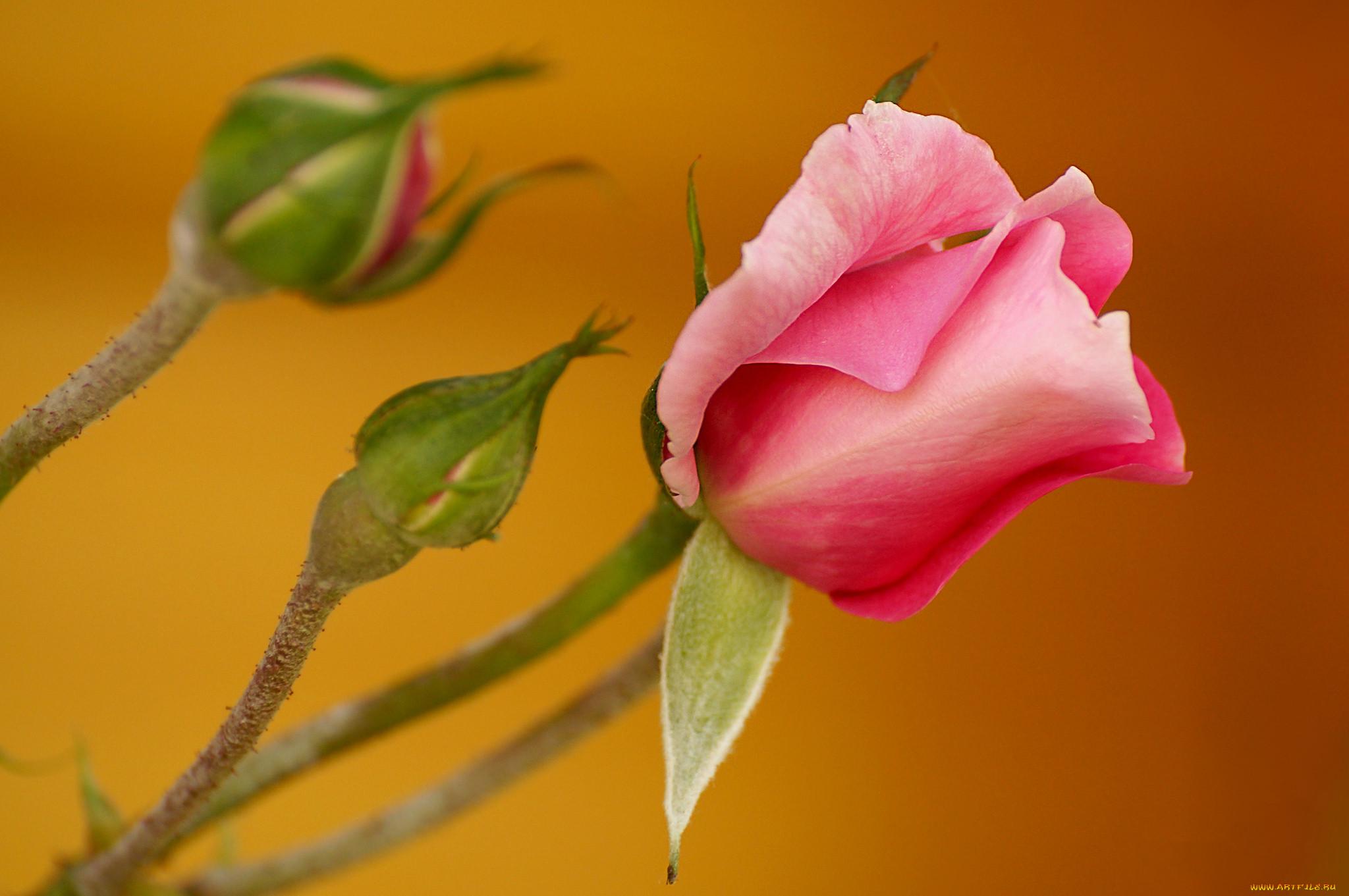 Бутоны роз фотографии